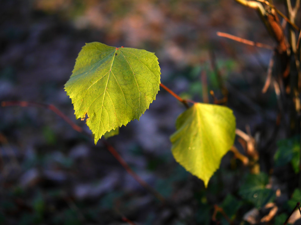 olympus_45mm_f12_pro_close_up_leaf