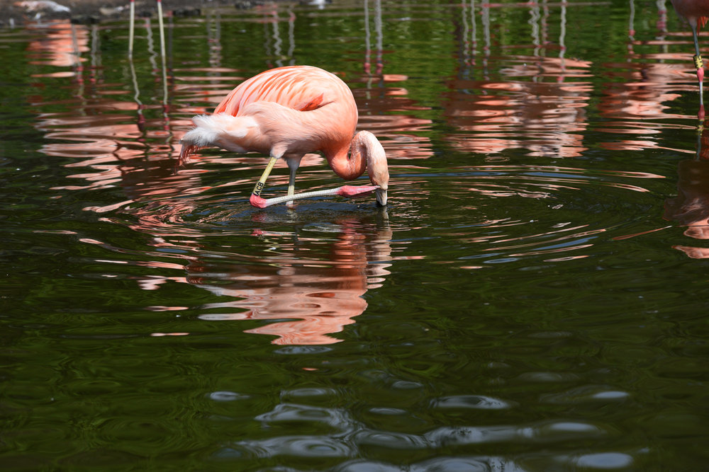 tamron_70-210mm_f4_flamingo_scratching