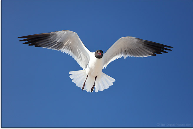 Gull-in-Flight-Sample-Picture