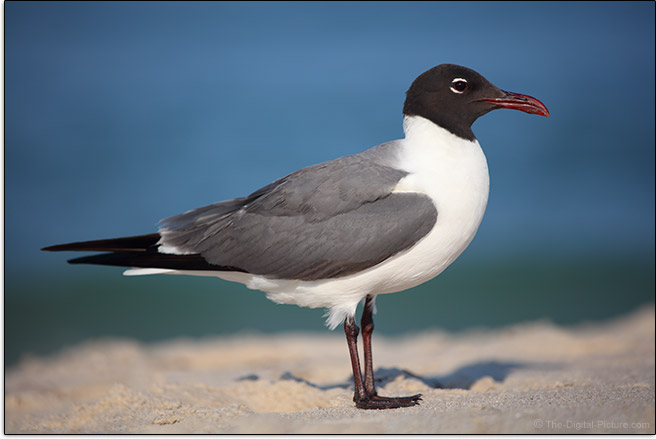 Laughing-Gull-Sample-Picture