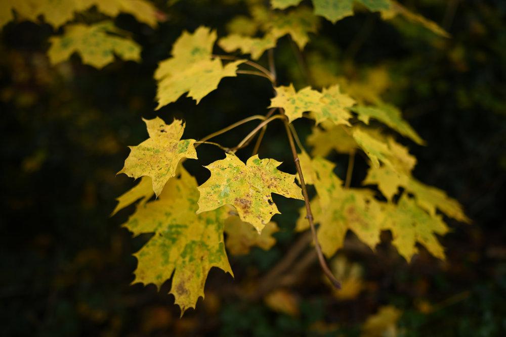 nikkor_z_24mm_f18S_autumn_leaves